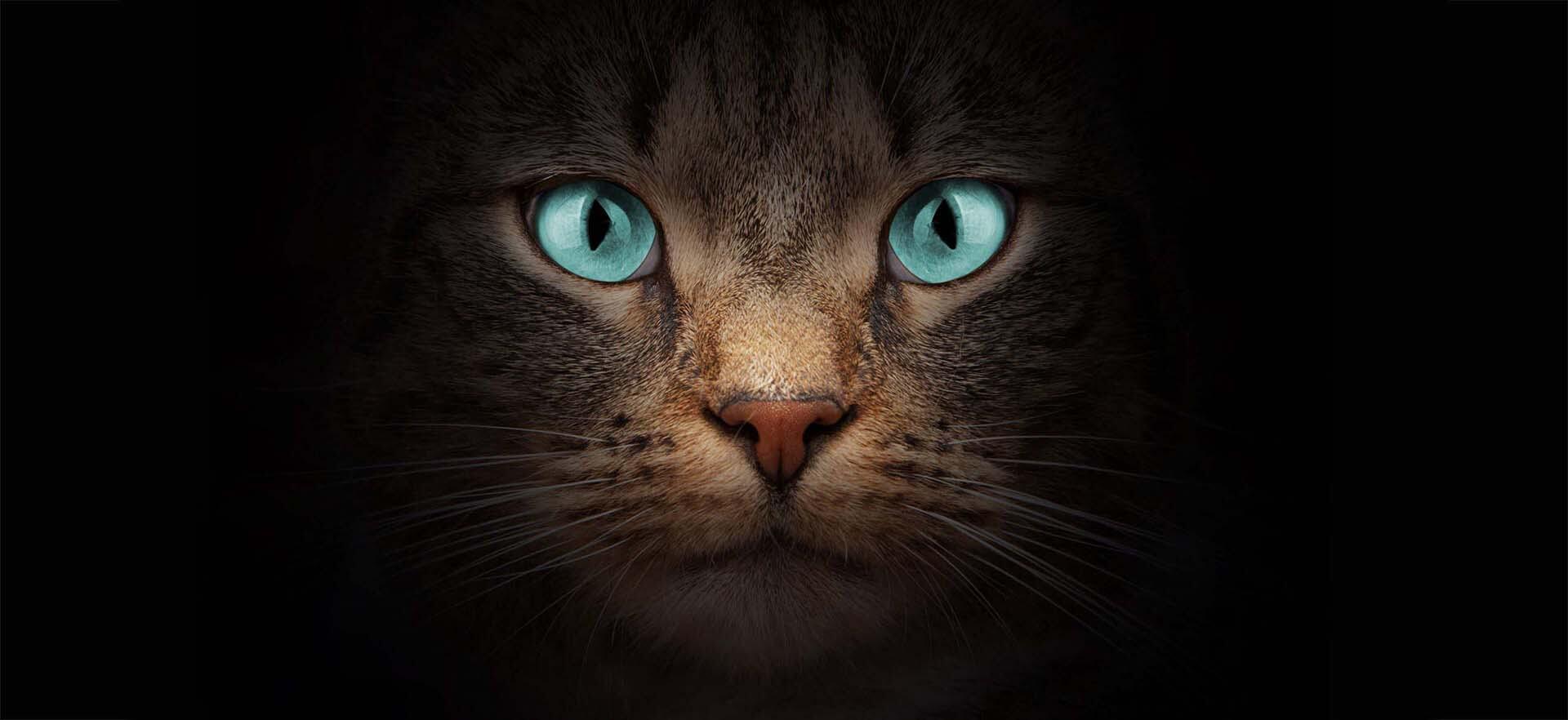 Visage d'un chat aux yeux bleus sur fond noir